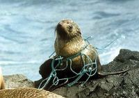 Sea lion trapped in fishing net - source Royal Melbourne Zoo